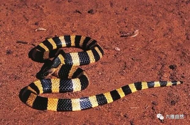 金贵过银,但金环蛇的毒却不如银环蛇
