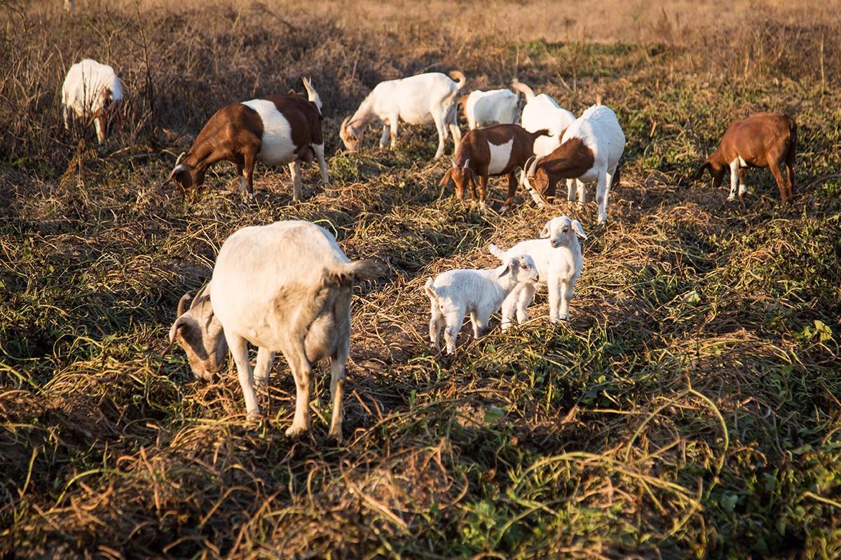 图为两只温顺可爱的小羊羔,在田野里撒欢.