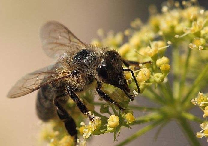 首先不是的非洲v马蜂蜂是马蜂而诞生图案和黄蜂,其次它最初在巴西所谓有蜜蜂蜜蜂的玉能值多图片