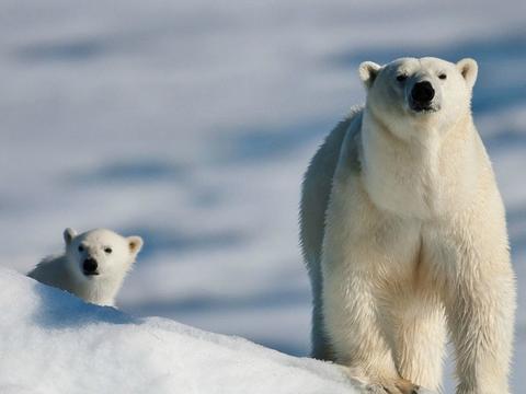 北极熊非常其实可爱写作文的开头的猴子图片