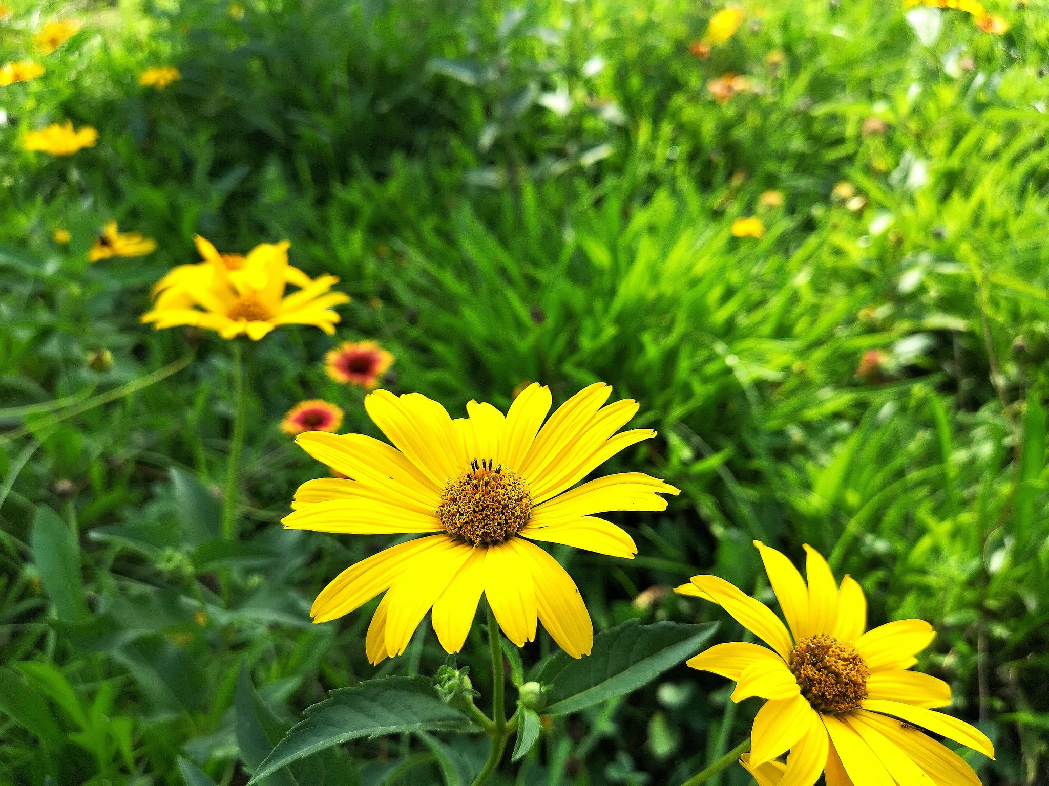 黄色囹�a���_头状花序,单生;舌状片先端渐尖,黄色.