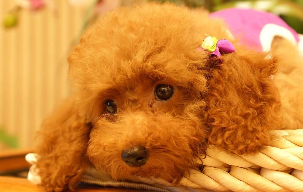 可爱如动物系的玩具贵宾女孩子,跟她们谈恋爱是最美好的