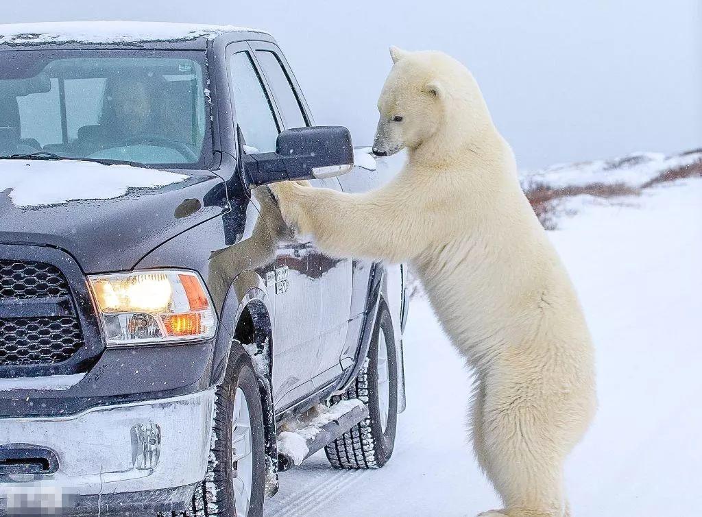 北极熊淡定优雅,皮卡动物从容拍照,蝴蝶人和和谐相处!车主主持稿图片