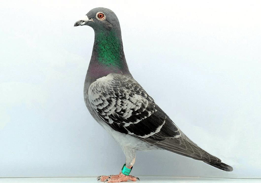 鸽子鸽动物鸟手工1060_742青蛙鸟类怎么做图片