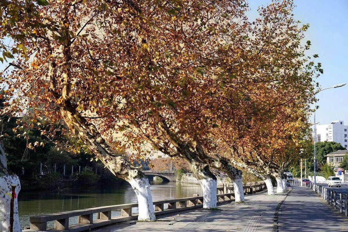 有梧桐树的秋天才有味道,无锡解放南路拥有最繁茂的梧桐街景