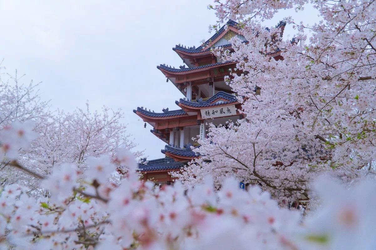 无锡太湖鼋头渚最美樱花季图片