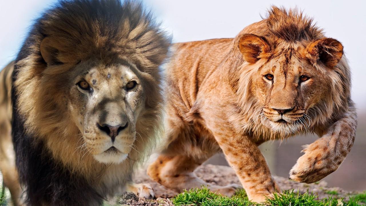 藏獒vs狮子_世界上有哪些动物能战胜老虎?狮子藏獒算一个吗?
