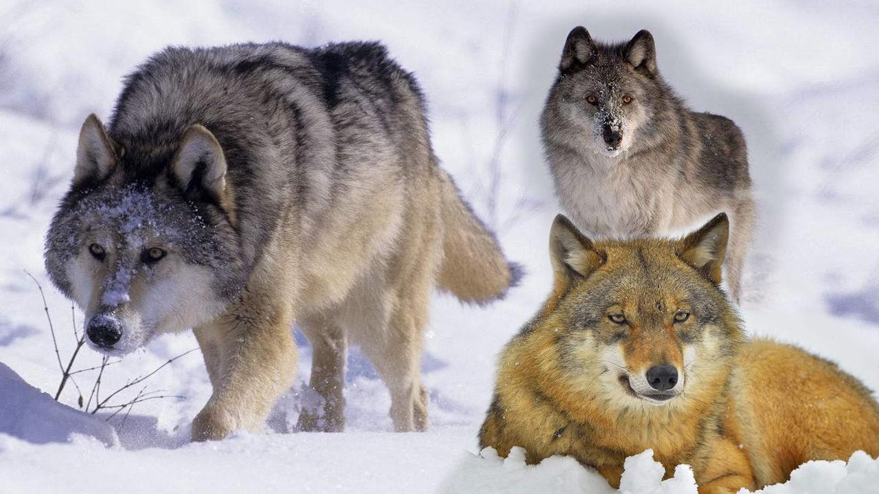 灰太狼和红太狼情侣图