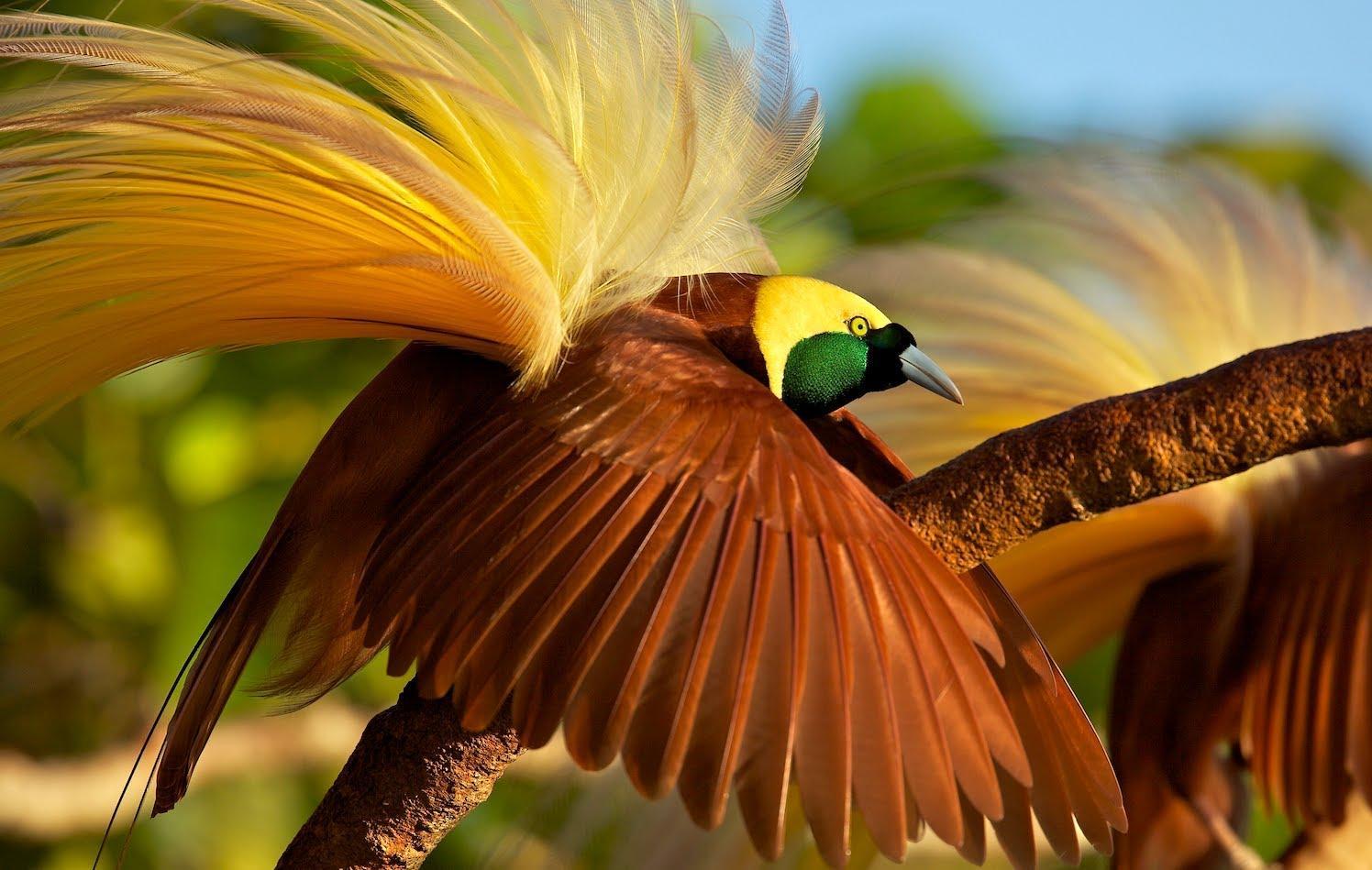 巴布亚新几内亚国旗 极乐鸟又名天堂鸟,风鸟.