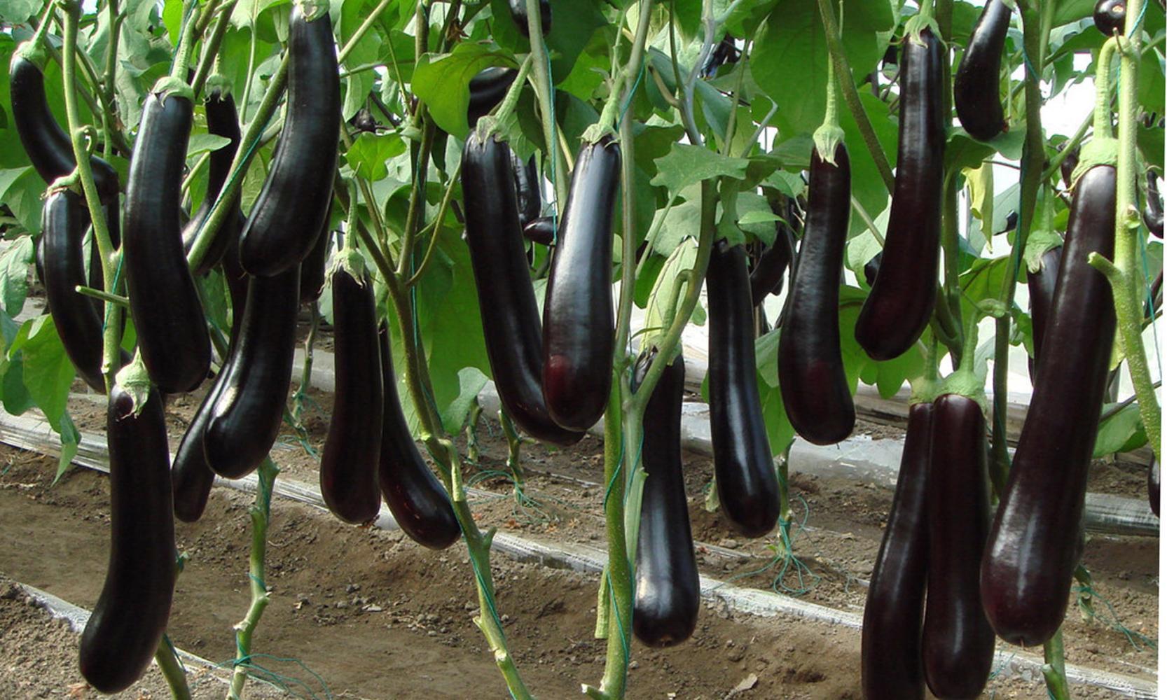 有机茄子施肥建议标准