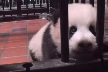 囧哥:网红不好当,熊猫也加班