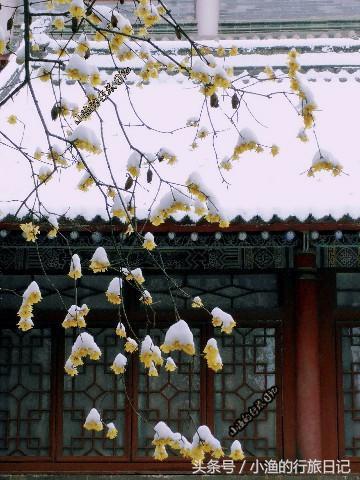 腊梅与屋檐,如此诗意的美景,可遇而不可求