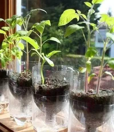 塑料瓶种�9f�x�~j�>�X_当你还在纠结要不要种花时,别人家已用塑料瓶种出了一个菜园.