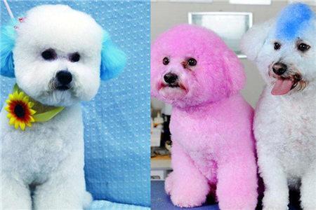 比熊犬染色和造型设计 让你拥有稀有宠物