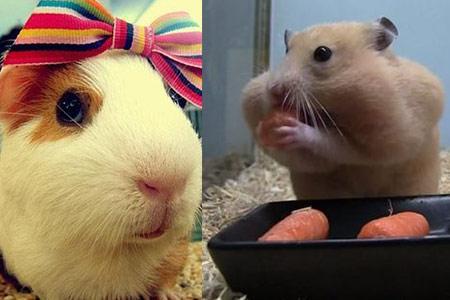仓鼠吃什么食物更健康 注意三点就能养好宠物图片