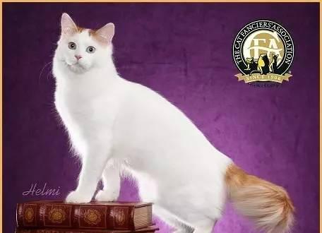 每日一猫:土耳其梵猫,世界上最贵的猫!