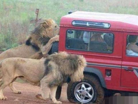 吼吼~狮群里面熄火了!!