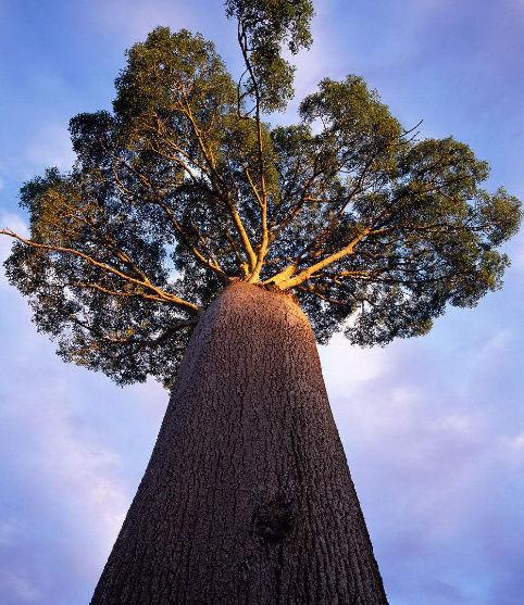 这种树能喷出2吨水:南非人生存保障的瓶子树
