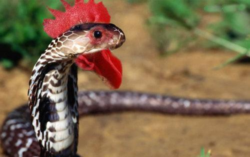鸡冠蛇与巨型蜈蚣大战三百回合,伤亡惨重