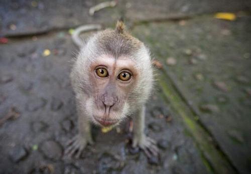 食蟹猴:国家二级保护动物,会游泳模仿人的动作,被逼的