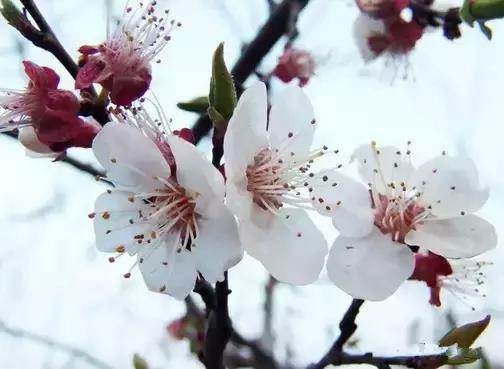桃花杏花樱花梨花李花海棠花,辨别春季百花的指南