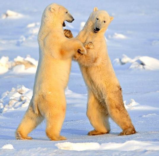 """搞笑:""""熊的华尔兹""""没想到北极熊也蝴蝶鲤和观赏虾能一起养吗图片"""