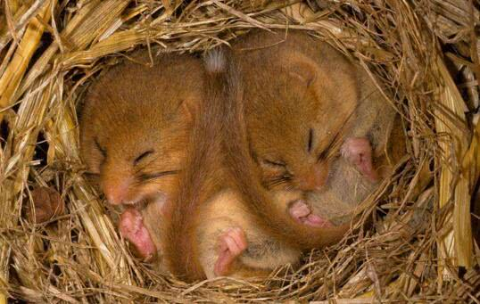睡鼠,这对它来说,真是个当之无愧的名字。它能在地洞里舒适地睡七个多月的觉。睡鼠在天变冷时就会挖洞躲在地下。有时它们会抱成团睡在树叶下面。当体温达到临界点时,它们就会醒来,做一些活动热热身,如做老鼠体操等增加自身的热量。冬眠对揍睡鼠这样的动物很重要,假如没有冬眠它们就会饿死。