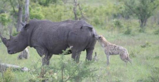 犀牛被鬣狗掏档,竟然没有反抗,还非常享受:可以再大力一点