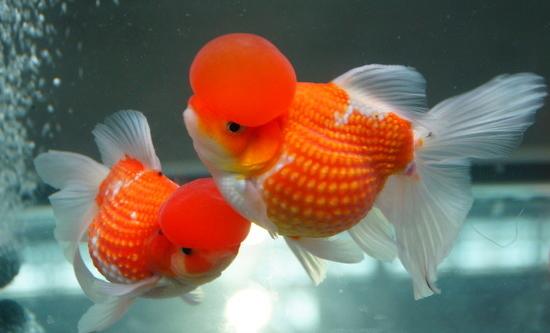什么热带鱼最漂亮 推荐几种漂亮的热带鱼图片