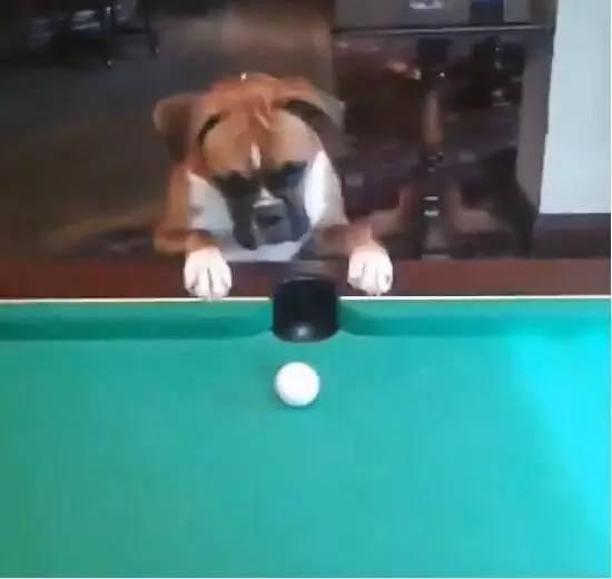 狗狗打台球,这表情也是没谁了白马山国家公园篮球图片