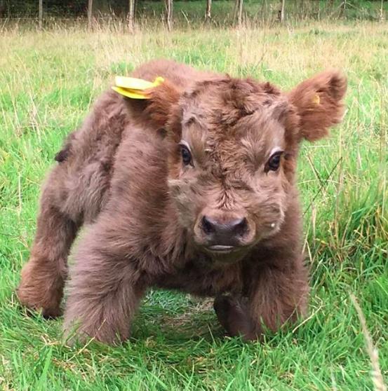 世界上最可爱,苏格兰高地牛,一卖萌起来网友全萌翻
