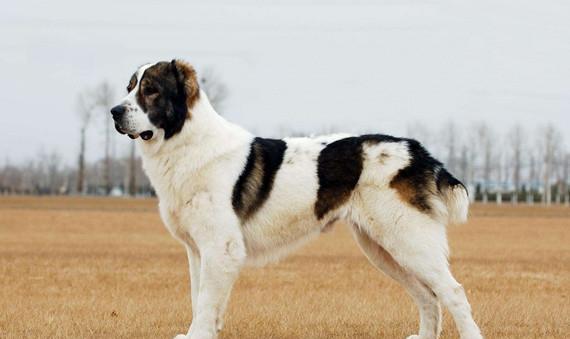 第五组:中亚牧羊犬和高加索犬