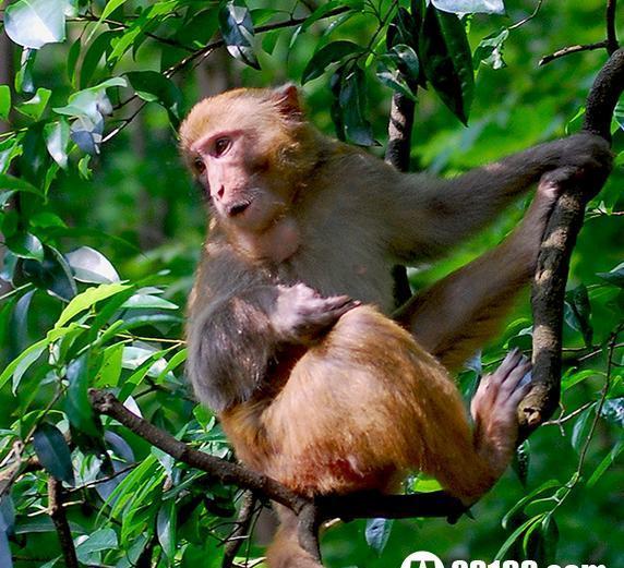 十二生肖猴子与老虎的秘密的传说故事图片