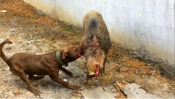 野猪对战比特犬,结局令人意想不到