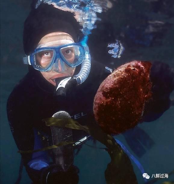 加州红鲍:世界上最大的鲍鱼,原来撬你这么难!