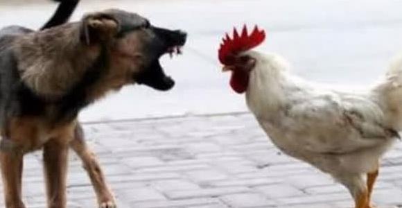 暴躁公鸡对阵獠牙大狼狗,你猜哪个赢?快来看看吧!