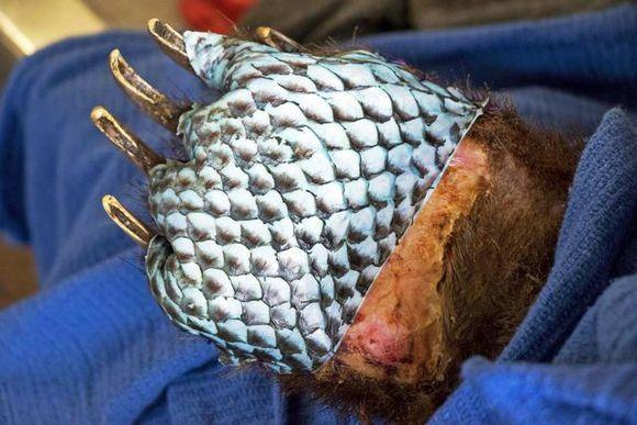鱼与熊掌不可得兼? 美国兽医给烧伤棕熊移植鱼