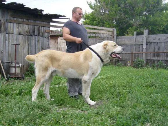 中亚牧羊犬的历史来源:曾经是击败老虎,抵御