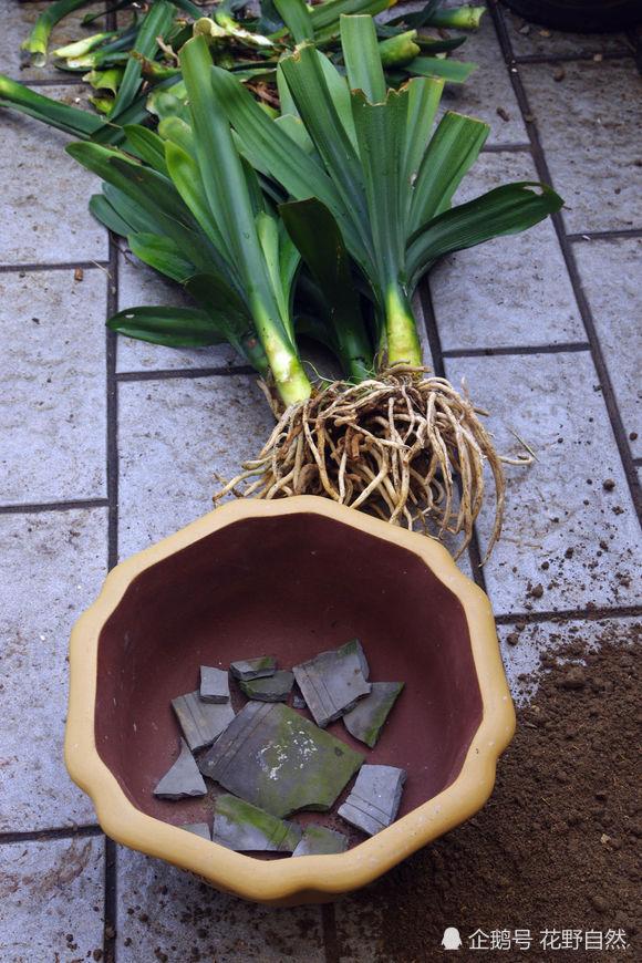 种植君子兰时,可以用瓦片将花盆的孔堵住,避免浇水时土壤流失.图片