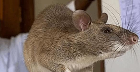 有科学家认为人类灭亡后 老鼠统治地球