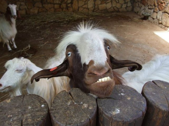这个羊的发型好搞笑,不只是发型,你张了衣服奶牛的样子,却是个羊图片