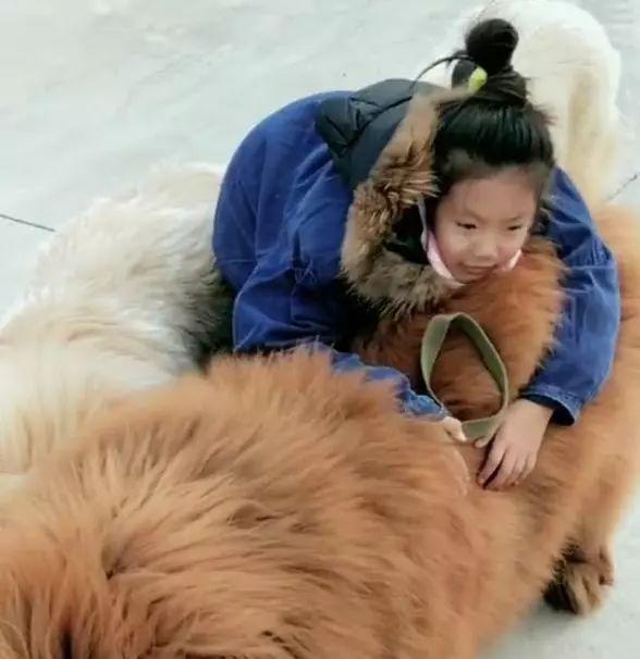 藏獒吃主人_小主人想出门玩,三只藏獒马上冲上去护驾,这小保镖真