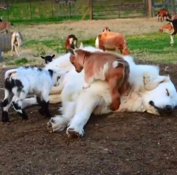 汪汪在牧羊场上班昏死,小羊们超级疑惑这个大障碍,竟把他当成