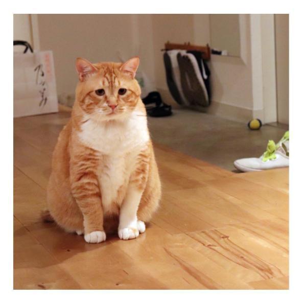 """胖橘猫被主人逼着量腰围,表情超哀怨:""""可以不要减肥吗"""