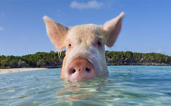 一名男子跟几个朋友在巴哈马左近的一个小岛游泳时,突然从海里冒出一颗猪头,这顿时把胆怯的男子吓个半死,随后一边拼命向岸上游一边大声喊:啊!猪啊!而从海中冒出来的那头猪却直愣愣地看着远去的男子,那样子仿佛在说:他怎样了?没见过猪会游泳吗?