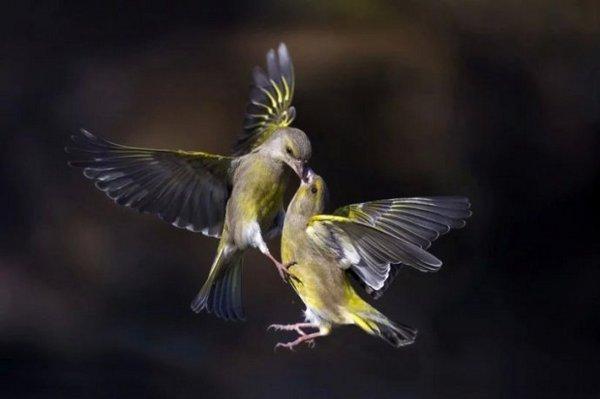两只爱情鸟在空中