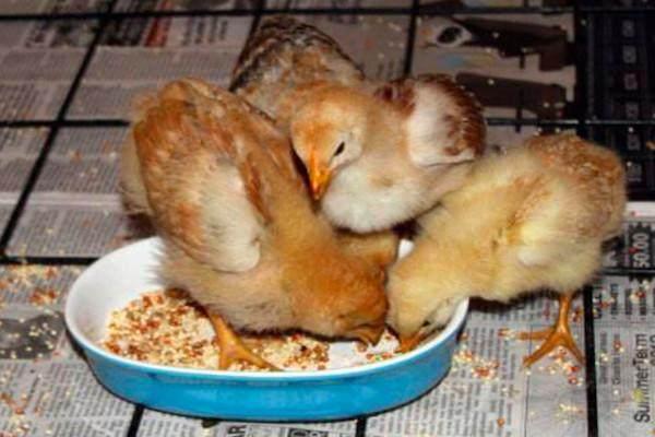 农村的土鸡常见,为什么很多人都吃不起?