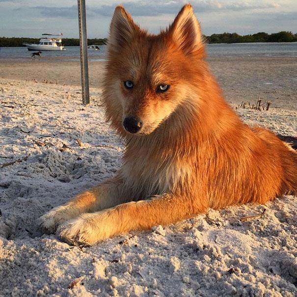 狐狸色中国片_它有着哈士奇的眼睛,狐狸的毛色,以及博美的耳朵.