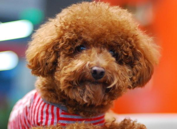 在日常生活中,要加强对宠物狗饮食,生活管理,此外还要定期给狗狗体内
