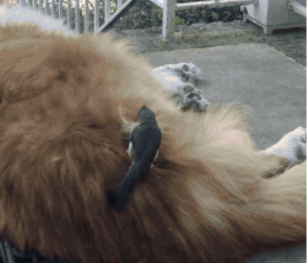 意外的一幕,自家爱犬正在外边走廊上睡觉,结果,就被一只小鸟给瞄上了